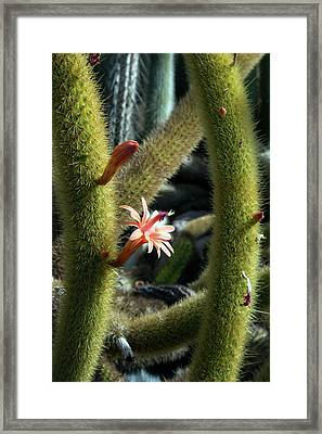 Cactus (winterocereus Aureispina) Framed Print by Jim West