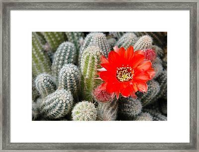 Cactus With Orange Flower.  Framed Print