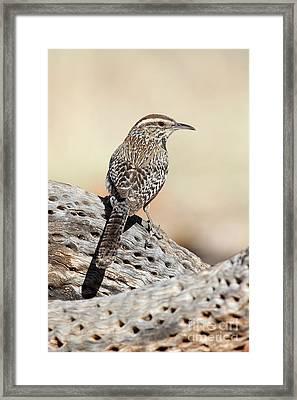 Cactus Wren Framed Print by Bryan Keil