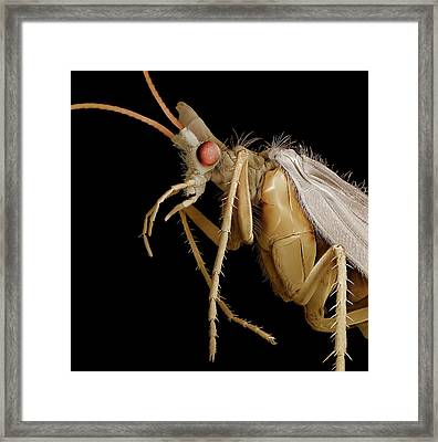 Caddisfly Adult Framed Print