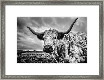 Cadzow White Cow Framed Print