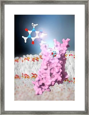 Caffeine And Adenosine Receptor Framed Print
