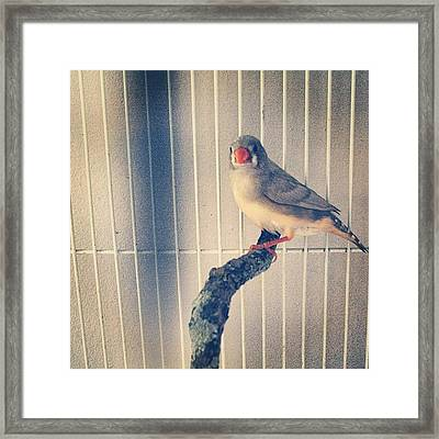 Caged Bird Framed Print by Christy Beckwith