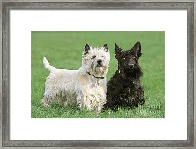 Cairn Terrier And Scottish Terrier Framed Print by Johan De Meester