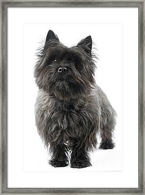 Cairn Terrier Dog Framed Print by Jean-Michel Labat
