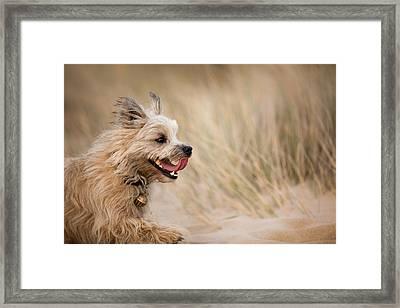 Cairn Terrier In Sand Dunes Framed Print by Izzy Standbridge