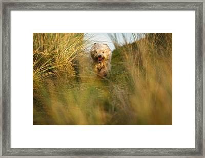 Cairn Terrier In The Dunes Framed Print by Izzy Standbridge