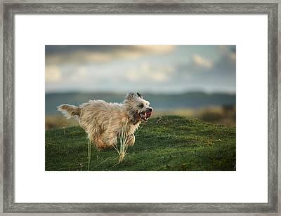Cairn Terrier Running In The Hills Framed Print by Izzy Standbridge