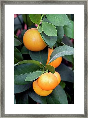 Calamondin (citrus Madurensis) Framed Print by Brian Gadsby/science Photo Library