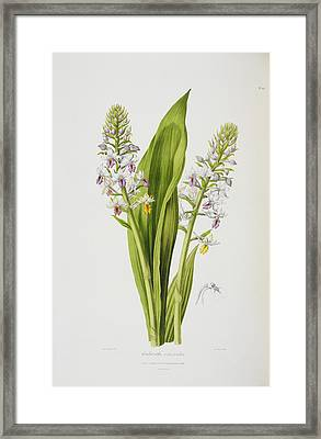 Calanthe Versicolor Framed Print by British Library
