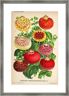 Calceolaria From A Vintage Belgian Book Of Flora. Framed Print