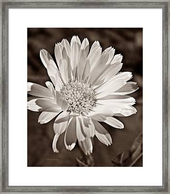 Calendula Framed Print by Chris Berry