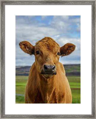 Calf Looking At The Camera, Iceland Framed Print by Arctic-images