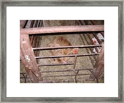 Calf Framed Print