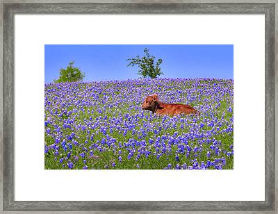 Framed Print featuring the photograph Calf Nestled In Bluebonnets - Texas Wildflowers Landscape Cow by Jon Holiday