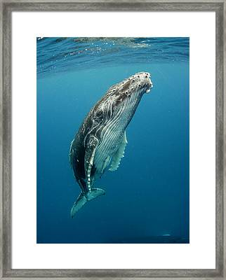 Calf Profile Framed Print by By Wildestanimal
