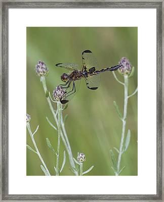 Calico Pennant On Centaurea Framed Print