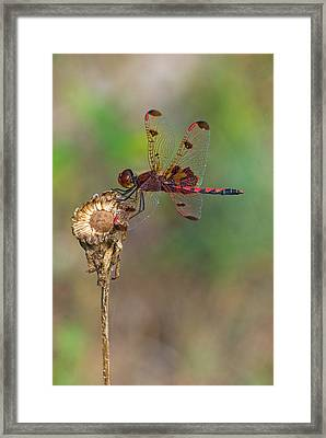 Calico Pennant On Dried Flower Framed Print