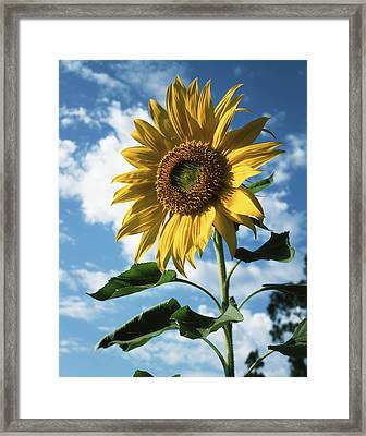California, A Mammoth Sunflower Framed Print by Christopher Talbot Frank