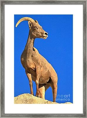 California Big Horn Framed Print