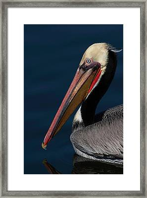Framed Print featuring the photograph California Brown Pelican Portrait by Ram Vasudev