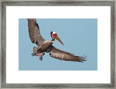 Framed Print featuring the photograph California Brown Pelican With Stretched Wings by Ram Vasudev