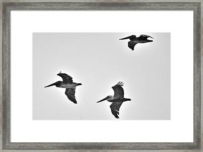 California Brown Pelicans In Black And White Framed Print