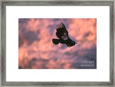 California Condor Framed Print