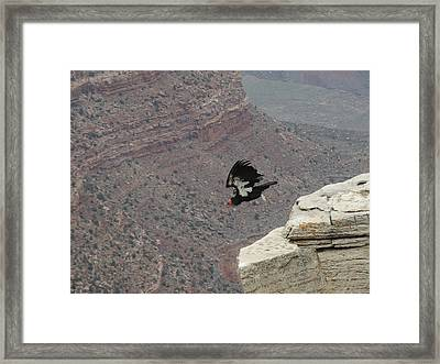 California Condor Taking Flight Framed Print