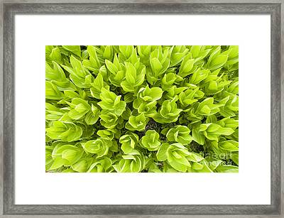 California False Hellebore Framed Print by William H. Mullins