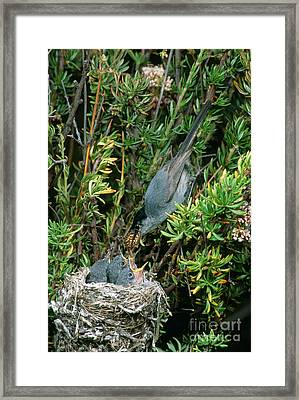 California Gnatcatcher Feeding Chicks Framed Print