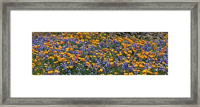 California Golden Poppies Eschscholzia Framed Print by Panoramic Images
