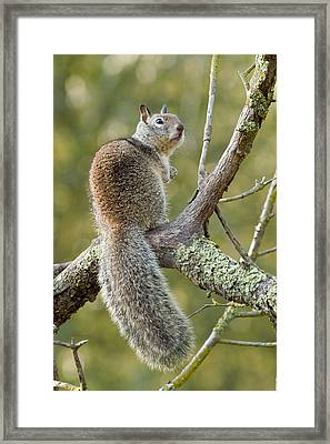 Framed Print featuring the photograph California Ground Squirrel by Doug Herr