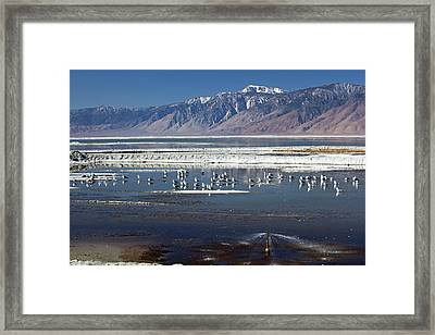 California Gulls On Owens Lake Framed Print by Jim West