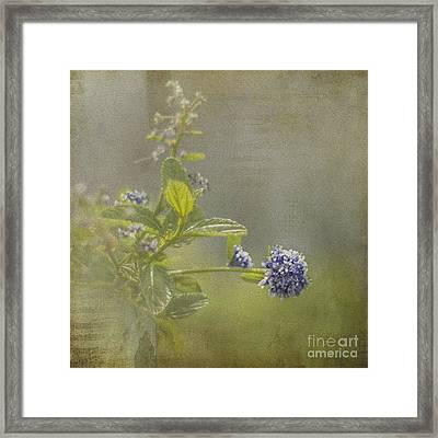 California Lilac Framed Print by Clare Bambers