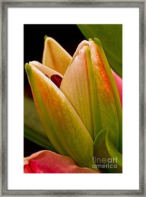 California Lily Framed Print by Mitch Shindelbower