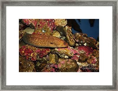 California Moray Eel 5d24868 Framed Print