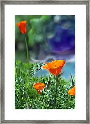 California Poppies Framed Print by Alice Ramirez
