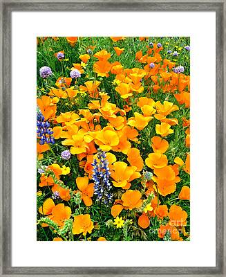 California Poppies And Betham Lupines Southern California Framed Print by Dave Welling