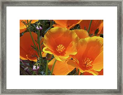 California Poppies Framed Print by Ben and Raisa Gertsberg