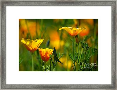California Poppies Framed Print by Deb Halloran