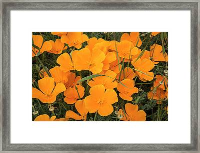 California Poppies In Montana De Oro Framed Print by Rob Sheppard