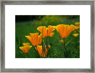 California Poppies Framed Print by Ken Dietz