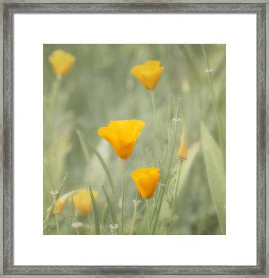 California Poppies Framed Print by Kim Hojnacki