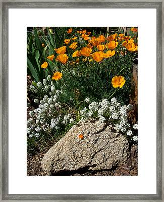 California Poppies Near The Clubhouse In Park Sierra-ca Framed Print by Ruth Hager