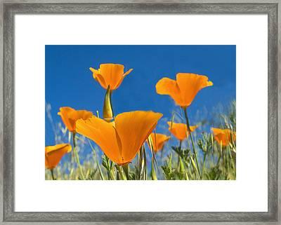 California Poppy 2 Framed Print by Rima Biswas