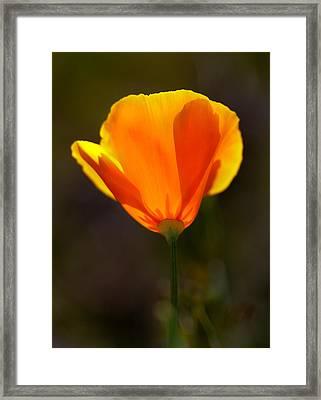 California Poppy 2 Framed Print by Robert Woodward