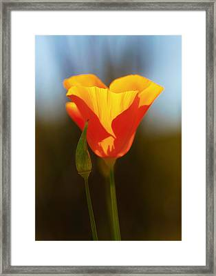 California Poppy 3 Framed Print by Robert Woodward
