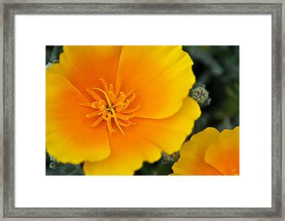 California Poppy In Spring Framed Print by Matthew Bamberg