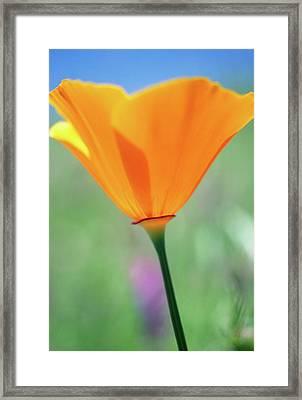 California Poppy Framed Print by Kathy Yates